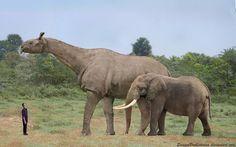 Paleoillustration. Comparative size of a paraceratherium and a modern elephant.