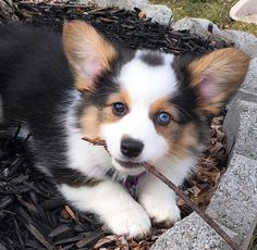 Welsh corgi - noun : a short-legged long-backed dog with foxy head of either of two breeds of Welsh origin: a : cardigan welsh corgi b : pembroke. Corgi Mix, Cute Corgi, Cute Puppies, Dogs And Puppies, Corgi Puppies, Fluffy Animals, Cute Baby Animals, Animals And Pets, Cute Creatures