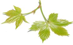 Picture showing foliage of young Virginia creeper, a poison ivy look-alike.