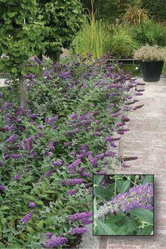 Buddleja 'Blue Chip' | vlinderstruik | Laagblijvende vlinderstruik tot 60 cm hoog, verwilderd niet en is goed toe te passen in potten. Rijkbloeiend in de zomer. Niet wintergroen.