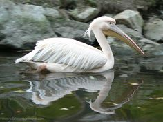 _Great White Pelican. Mar 19, 2010                         St James Park, London, England. cldy mild, 4-5 birds    in lake    (photo: www.wildanimalsonline.com)
