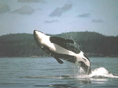 Look, guys, I can see someone onshore drinking a fine artisan wine from Washington State!    Orca Whale in San Juan Islands
