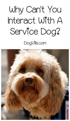 Why can't you interact with a service dog? You might wonder this if you're out and see an adorably irresistible golden retriever or handsome German shepherd strolling with his person. What is the …