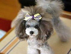 Precious Poodle ♥