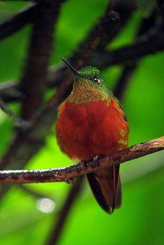 El colibrí pechirrojo , también llamado colibrí de pecho rojo, colibrí pechicastaño o colibrí de pecho castaño (Boissonneaua matthewsii) El color castaño en la cola y la mayoría de partes inferiores es diagnóstico de similitud con la hembra del Silfo Coliverde. El Heliodoxa Leonado puede solapar su area, pero éste es ante canela por debajo en vez de castaño y tiene la cola verde y la gorguera rosa topacio iridiscente (no verde).