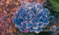 Blue Hydrangea, Copyright Heather J. Kirk http://heather-kirk.artistwebsites.com/featured/blue-hydrangea-heather-kirk.html