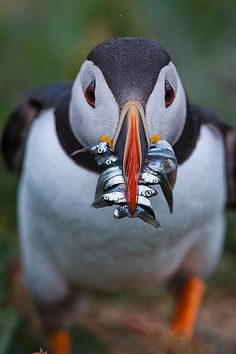 Puffin. The serrated edges of its beak make it possible to hold this many fish at once.