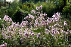 Anémone du Japon - Autres vivaces pour sol argileux : alchémille, géraniums vivaces,hémérocalles, rudbeckias, phlox paniculés, pivoines