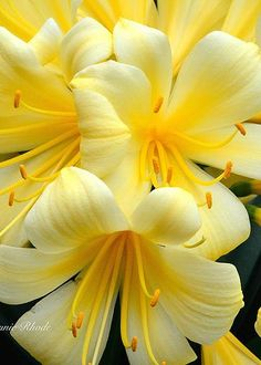 Yellow Clivia by Jeannie Rhode Photography