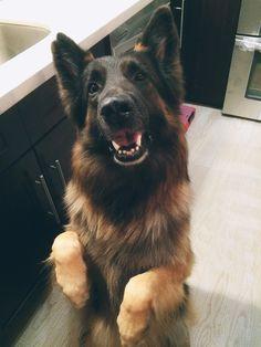 dog animals pets begging german shepherd cute smile PU selinerrr •