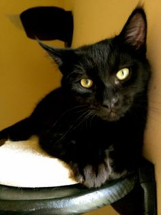 2/22/16 SL- Meet Hunter, a Petfinder adoptable Domestic Short Hair-black Cat | Memphis, TN | Hunter is a sweet and playful guy. He is great with other cats and dogs.  He loves to spend his...