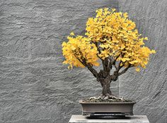 Fancy - Ginkgo Bonsai Tree  Brilliant yellow color in the fall and Lime green color in the spring