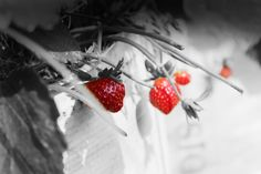 Stawberry kawah putih