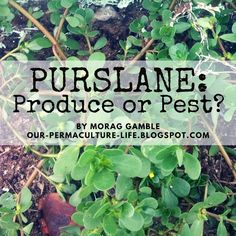 Our Permaculture Life: Purslane: Nourishing Produce or Annoying Pest?