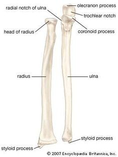 The radius and ulna (bones of the forearm), shown in supination (the arm rotated outward so that the palm of the hand faces forward). Human Skeleton Parts, Human Skeleton Anatomy, Human Body Anatomy, Human Anatomy And Physiology, Muscle Anatomy, Forearm Anatomy, Radius And Ulna, Massage, Biology