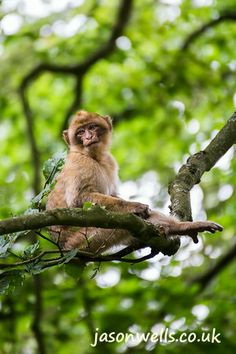 Barbary macaque way up high.   See the rest of my wildlife images in full size by clicking on the thumbnail.  They are also available to buy in a variety for formats or as a digital download without the watermark. #ape