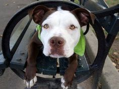 """TO BE DESTROYED10/11/13 Manhattan Center - P~TEXAS.ID # is A0981255. Male brwn & wht pit bull mix. YR 6 MTHS old.STRAY10/6/13 His leash manners are excellent; he's calm and easy. He's a bit shy, but gentle, and sweet and affectionate.Likely housetrained. Texas did struggle with playing calm """"tag"""", & dog to dog interaction (nervous).He would benefit from some doggy socializing. Texas is a compact guy who will fit into most living situation."""