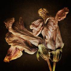 """Hibiscus Lost"" - © Dawn LeBlanc"