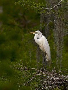 Great egret - ardea alba by amaw, via Flickr