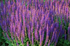 Salvia is a showy perennial that likes a sunny spot. It is extremely drought tolerant and low maintenance. Oh those purples! Try 'Cardona' with some ornamental grasses with it.