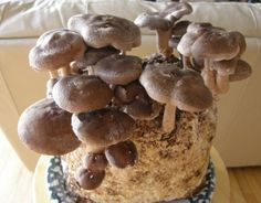Indoor Mushroom Garden Amazon the espresso oyster mushroom garden patch indoor amazon the shiitake mushroom kit indoor mushroom growing kit grow edible workwithnaturefo