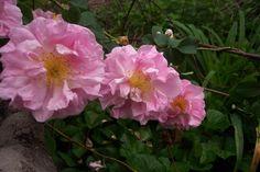 Celsiana, damask rose