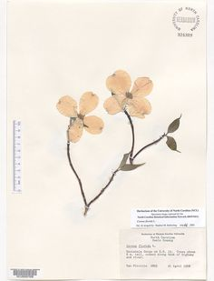 Cornus_florida,Resources for Botanical Sketchbooks, , Resources for Art Students at CAPI::: Create Art Portfolio Ideas milliande.com, Art School Portfolio Work, , Botanical, Flowers, Plants, Leaves,Stem Seed, Sketching, Herbarium