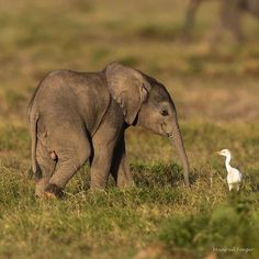 Baby elephant meets a large bird Elephants Photos, Save The Elephants, Elephant Photography, Animal Photography, Wildlife Photography, Travel Photography, Cute Funny Animals, Cute Baby Animals, Nature Animals