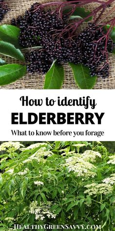Edible garden 219057969363941647 - Excited to forage elderflowers and elderberries this season? Get to know the elderberry plant's key features and how to tell it from potentially toxic lookalikes. Source by diynatural Healing Herbs, Medicinal Plants, Permaculture, Elderberry Plant, Elderberry Ideas, Elderberry Syrup, Bio Vegan, Edible Wild Plants, Plant Identification
