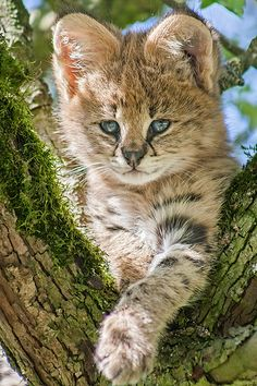 Serval Kitten ~ by Johannes Wapelhorst)