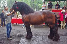Polish Coldblood - stallion Jutron