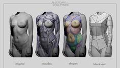 Female body deconstructed by anatomy4sculptors.deviantart.com on @deviantART