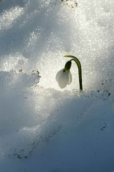 "Snowdrop Peeking Through the Snow-""Lovely!"""