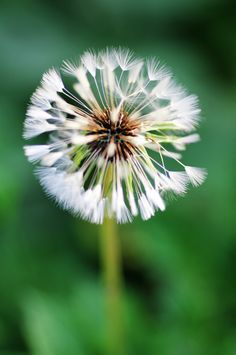 Fairy make a wish . Flowers Nature, Wild Flowers, Beautiful Flowers, Beautiful Gardens, Dandelion Wish, Dandelion Seeds, Jolie Photo, My Secret Garden, Flower Boxes
