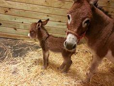 Oh my gosh...a newborn Donkey foal...looks to be a mini! <3 <3 <3