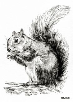 Done in pen and ink/watercolor. Squirrel Tattoo, Squirrel Art, Animal Sketches, Animal Drawings, Drawing Sketches, Sketching, Squirrel Illustration, Illustration Art, Arte Sketchbook