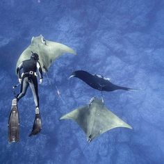 Photo: @andy_mann // Azorean Biologist, Jorge Fontes, free-dives and applies the first, non-invasive, radio-collar tag onto a Devil Ray. In the past the tags were speared (gently) into the rays but arguably effected their behavior and data sets. Jorge is pictures here, after deployment, swimming with 2 Devil Rays (notice the tag trailing off one) who are being joined by a Manta. Shot on assignment for the @waittfoundation in Azores.