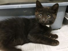 Sadies and Kitty (ID: A387788 and A387789) are a great pair of little kittens -- they are ready to find a forever home and it would be wonderful if they could be adopted together. They are sweet and playful and cute, cute, cute! (Kitty pictured here)