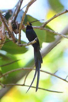 Seychelles Black Paradise Flycatcher | Flickr - Photo Sharing!