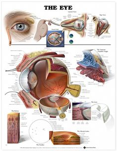 Eye Anatomical Chart L'Optique Optometry Rochester Hills, MI www.loptiqueoptometry.com 248-656-5055