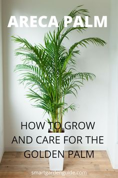 Areca Palm Care - How To Grow Dypsis Lutescens - Smart Garden Guide Areca Palm Care, Palm Plant Care, Palm Tree Care, Areca Palm Plant, Palm Tree Plant, Trees To Plant, Indoor Palm Trees, Indoor Palms, Large Indoor Plants