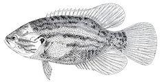 *The Graphics Fairy LLC*: Vintage Clip Art - 2 Fine Fishes