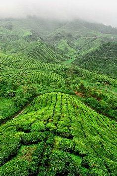 Cameron Highlands - Pahang, Malaysia༺ ♠ ༻*ŦƶȠ*༺ ♠ ༻