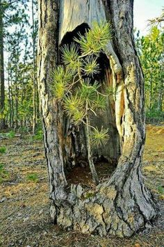 New pine tree forest photography earth ideas Weird Trees, Image Nature, Old Trees, Tree Branches, Unique Trees, Nature Tree, Nature Nature, Tree Forest, Plantation