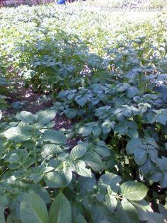 Ochrana na zemiaky pred pásavkou zemiakovou