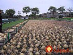 Pestovanie cibule na čínsky spôsob: Pre zdravšiu a väčšiu úrodu v krátkom čase