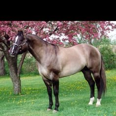 Grulla color horse I want one!