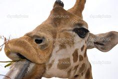 depositphotos_2021114-Giraffe-eating.jpg 1,023×683 pixels
