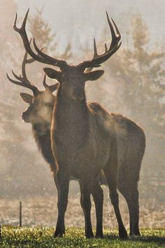 Red Stags in the morning`