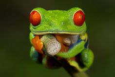 Another shot of this red eyed tree frog. Can you believe those eyes? If you've ever wanted to take spectacular frog shots (among tons of other wildlife species! Macro Photography, Wildlife Photography, Animal Photography, Digital Photography, Amazing Photography, Whites Tree Frog, Red Eyed Tree Frog, Poison Dart Frogs, Cute Frogs